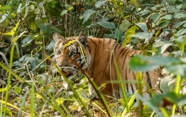 Nepal Tiger Tour